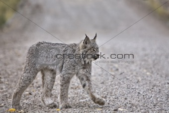 Rocky Mountain Lynx