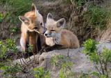 Fox Kits Canada