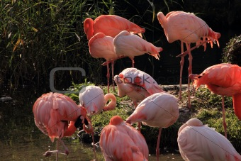 group of resting pink flamingos