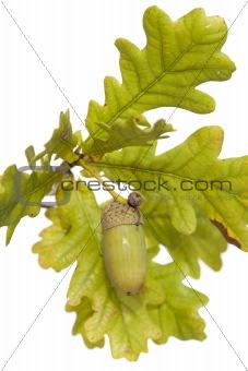 branch acorn