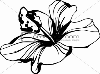 sketch blossoming hibiscus flower bud