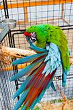 parrot Ara Military (Ara militaris mexicana) in the cage