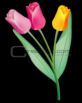 three colored tulips
