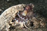 Octopus glare