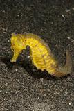 Moluccen seahorse