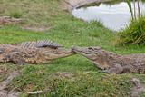 Comforting crocodiles
