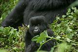Peering gorilla baby