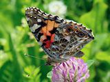 Buttefly Vanessa Cardui