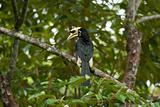male oriental pied hornbill