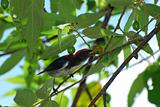 male scalet flowerpecker