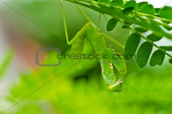 mantis in green nature