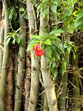 Hibiscus and bamboo