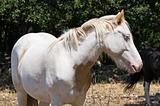 Portrait of a piebald mare.