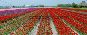 A spring field with red tulips. Panorama