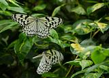 Large Tree Nymph butterfly, Idea leuconoe