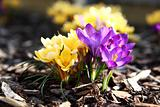 Purple and yellow crocus