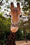 Giraffe's muzzle