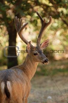 Californian Black-tailed buck