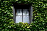 Window covered with green ivy