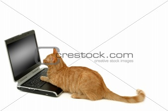 Cat is using laptop computer