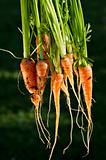 Fresh Organic Baby Carrots