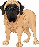 English Mastiff 