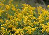Golden Rod Patch