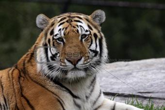 Calm Siberian Tiger