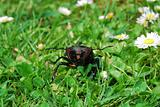 stag beetle front view
