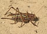 Female of a locust on sand