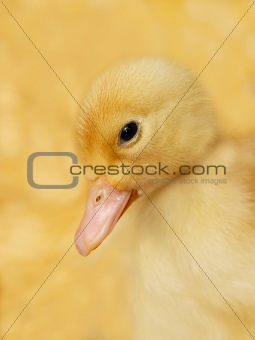Small duckling on yellow