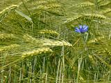 Cornflower among barley field