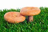 rovellons, typical autumn mushrooms of Spain