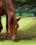 grazing straight egyptian horse