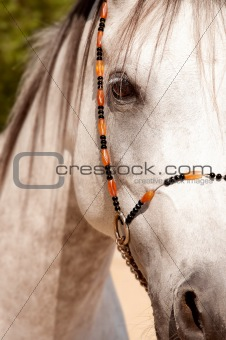a close look of an arabian horse