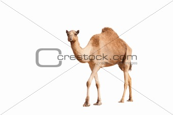 isolated camel on white background