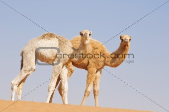 two baby camels in desert