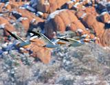 White Pelican Threesome Flying