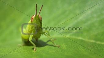 Green funny grasshopper on a leaf - business card format