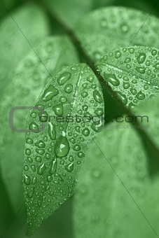 Droplets of dew on leaves