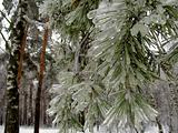 Pine branches in ice
