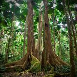 gigantic trees in fan palm rain forest Australia