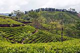 Tea Plantation