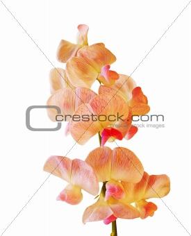 Everlasting pea flower