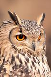 portrait of real owl