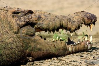 A smile of a crocodile