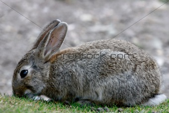 A hare peacefully eating the grass