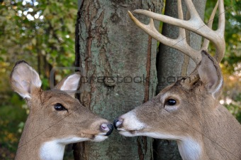 buck and doe in woods