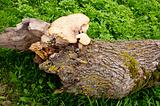 Fungus growing on a fallen tree trunk