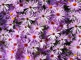 Wallpaper of Wild Aster Flowers
